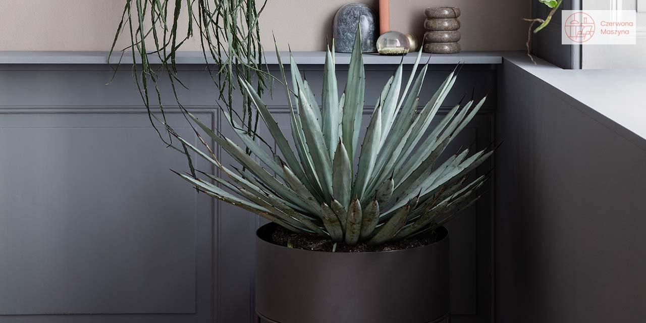 Aloes (Aloe vera)